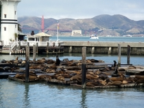 The Sea Lions of Pier  in San Francisco Zalophus californianus
