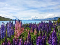 The shores of Lake Tekapo in the spring OC
