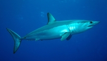 The Shortfin Mako shark Isurus oxyrinchus is a large mackerel shark Also known as a blue pointer
