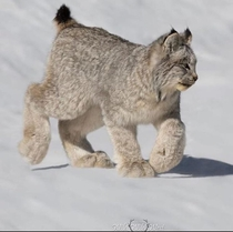 The size of the feet on this Lynx