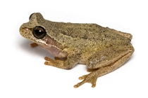 The southern brown tree frog Litoria ewingii is a species of tree frog native to Australia found in a wide range of habitats Reaching  millimetres  in this species is generally brown but green and green-striped morphs are also recorded Photograph JJ Harri