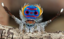 The Spectacularly Colorful and Surprisingly Small Peacock Spider