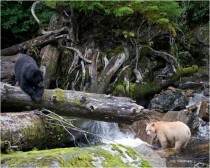The Spirit bear and a friend