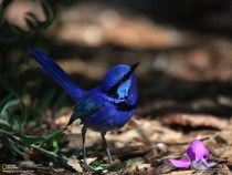 The Splendid Fairywren Malurus splendens also known as the Splendid Wren