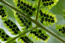 The sporangia of spinulose woodfern Dryopteris carthusiana