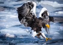 The Stellers Sea Eagle Haliaeetus pelagicus