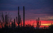 THE SUN SETS behind saguaros in Organ Pipe Cactus National Monument in Arizona
