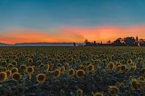 The sunflower fields are in full bloom in Dixon California