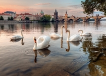 The swans of Prague  Photo by Alexander Atoyan
