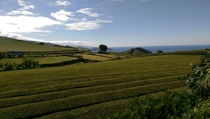 The tea fields of So Miguel Island