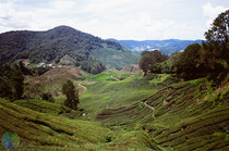 The tea fields of the Cameron Highlands Malaysia