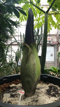 The Titan Arum aka Corpse Flower Amorphophallus titanum McMaster University one of the tallest flowers in the world close to blooming
