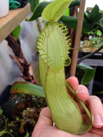 The tropical carnivorous plant Nepenthes hamata   x