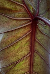 The underside of a colocasia esculenta black magic leaf