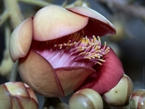 The unusual blossom of the cannonball tree couroupita guianensis