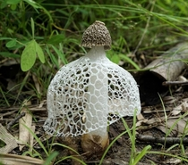 The Veiled Lady Phallus indusiatus also known as Bridal Veil Stinkhorn fungus
