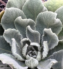 The Velvet Plant Mullein has the Worlds Softest Fuzziest Leaves - Verbascum thapsus