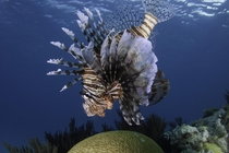 The very beautiful but very destructive invasive species for Bermuda - the lionfish