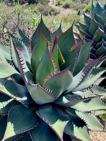 The very rare and dangerous Shaws Agave - Agave shawii critically endangered Torrey Pines park