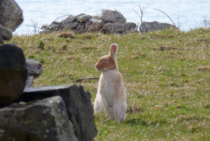 The very rare Golden Irish Hare Lepus timidus
