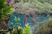 The vibrant blue water of the Waitomo River