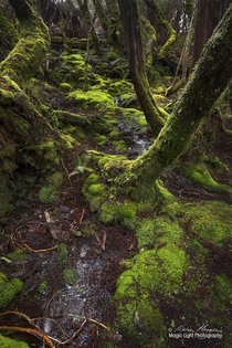 The vibrant greens of the moss covered forest on the Pencil Pines track at Cradle Mountain in Tasmania Australia