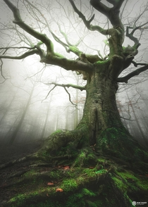 The Witch tree running for European Tree of the year the Netherlands