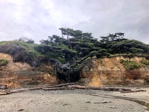 The wonderfully twisted whimsically gnarly Tree of Life at Kalaloch Beach  Olympic National Park  Washington USA    IG tracethetrail