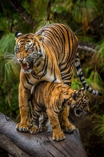 The wrath of s mother A bengal tiger protecting her cub from danger in Jim Corbett National park India