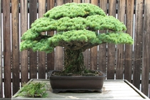 The  year old Bonsai that survived the Hiroshima Bombing  x-post from rBonsaiPorn