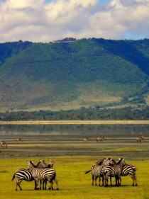 The Zebras of Ngorongoro Crater