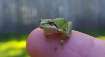 There are a ton of these in my yard They are so cool Pacific Tree Frog Pseudacris Regilla