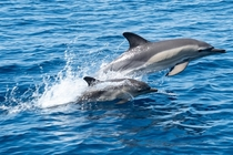 There is nothing like a mother dolphin teaching her baby how to jump and play in the water I took this from a sailing boat in the Aegean Sea off the coast of Skiathos