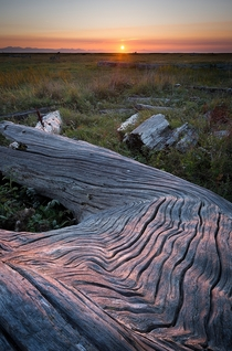 Theres some driftwood along the local trail that resembles a frozen lava flow Right now its especially beautiful because it aligns perfectly with the setting sun West Dyke Richmond BC