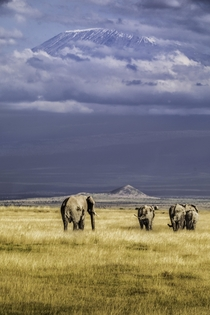 These elephants in Amboseli Kenya as they graze under the shadow of Kilimanjaro that rises above the clouds