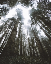 These enormous ancient Redwoods in the Fog in Jedediah State Park