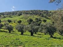 These olive trees are over  years old Location Irbid Jordan x