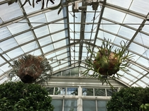 These staghorn ferns at the NYBG