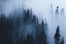 These trees in the fog look like water color ink on a canvas--Olympic National Park Washington