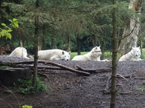 They look so bored Gray Wolves canis lupus at Woodland Park Zoo Seattle WA