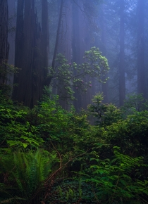 Think Fog in Redwoods National Park USA