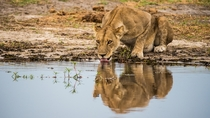 Thirsty lioness Botswana Photo credit to Birger Strahl