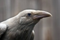 This bird is not an Albino raven but it is in fact a white raven