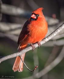 This cardinal is a backyard beauty