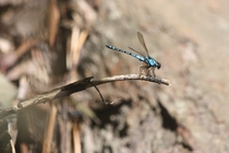 This dragonfly stands out quite a bit among the dried foliage of Carnarvon Gorge Queensland