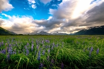 This field of lupine in Alaska cant compare to New Zealands but its still nice Turnagain Arm Alaska