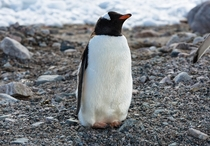 This Gentoo penguin just finished lunch I guess - climbed out of the water walked towards me then decided to take a nap