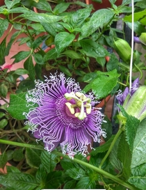 This glorious multi-layered passiflora which bloomed in my balcony today
