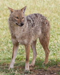 This golden jackal Canis aureus syriacus won me over