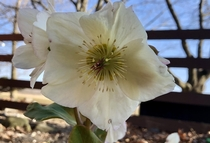 This hellebore Lenten rose is always the first perennial to bloom on my Michigan property  I love how it sticks out in a drab early spring landscape symbolizing how much more there is to come